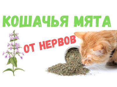 Котівник або Котяча м'ята для нервів і здоров'я