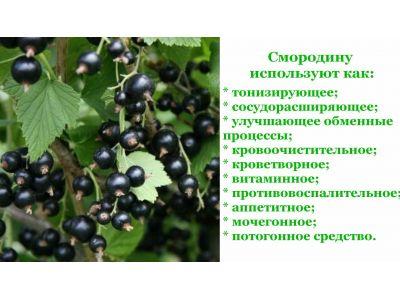 Листя смородини від гіпертонії