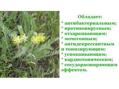 Астрагал трава від вірусів