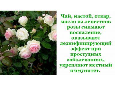 Роза чайна при ангіні та застуді