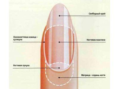 Будова нігтя