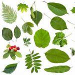 Сухе листя лікарських рослин